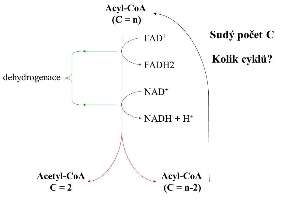 (C = n) FAD + FADH2 NAD + NADH + H + Acyl-CoA (C = n-2) Acetyl-CoA C = 2 dehydrogenace Sudý počet C Kolik cyklů?
