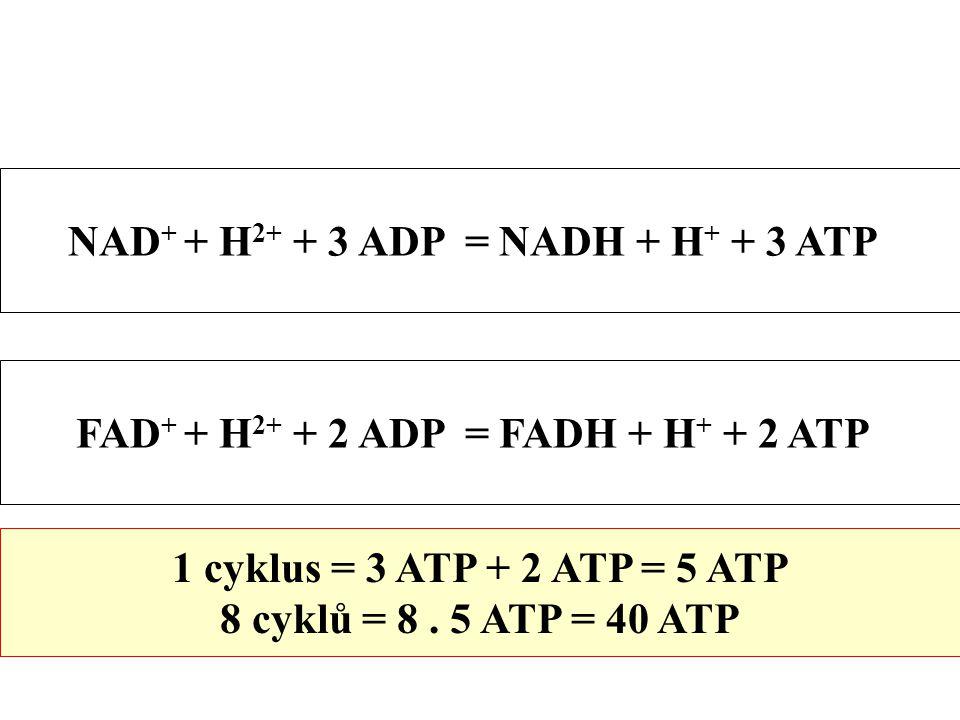 NAD + + H 2+ + 3 ADP = NADH + H + + 3 ATP FAD + + H 2+ + 2 ADP = FADH + H + + 2 ATP 1 cyklus = 3 ATP + 2 ATP = 5 ATP 8 cyklů = 8.
