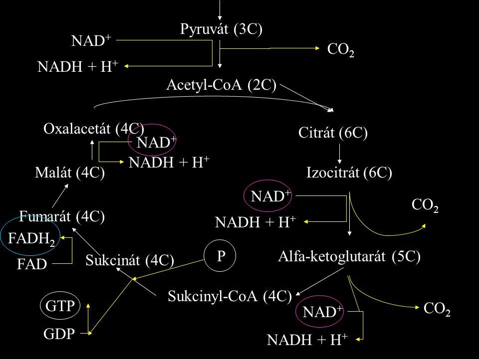 Pyruvát (3C) CO 2 NAD + NADH + H + Acetyl-CoA (2C) Oxalacetát (4C) Citrát (6C) Izocitrát (6C) Alfa-ketoglutarát (5C) Sukcinyl-CoA (4C) Sukcinát (4C) Fumarát (4C) Malát (4C) CO 2 NAD + NADH + H + NAD + CO 2 GTP GDP P FADH 2 FAD NAD + NADH + H +