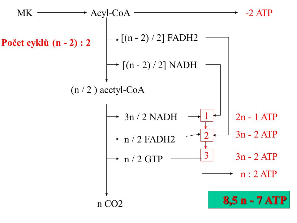 Acyl-CoA Počet cyklů (n - 2) : 2 [(n - 2) / 2] FADH2 [(n - 2) / 2] NADH (n / 2 ) acetyl-CoA 3n / 2 NADH n / 2 FADH2 n / 2 GTP 1 2 3 2n - 1 ATP 3n - 2 ATP n : 2 ATP n CO2 MK -2 ATP 8,5 n - 5 ATP 8,5 n - 7 ATP