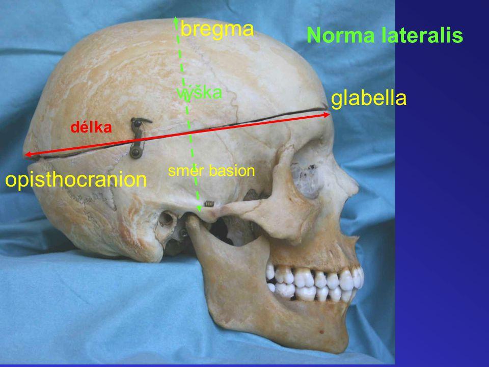 Norma lateralis směr basion bregma výška délka glabella opisthocranion