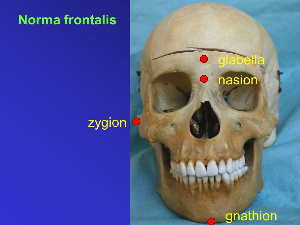 Norma frontalis zygion gnathion nasion glabella