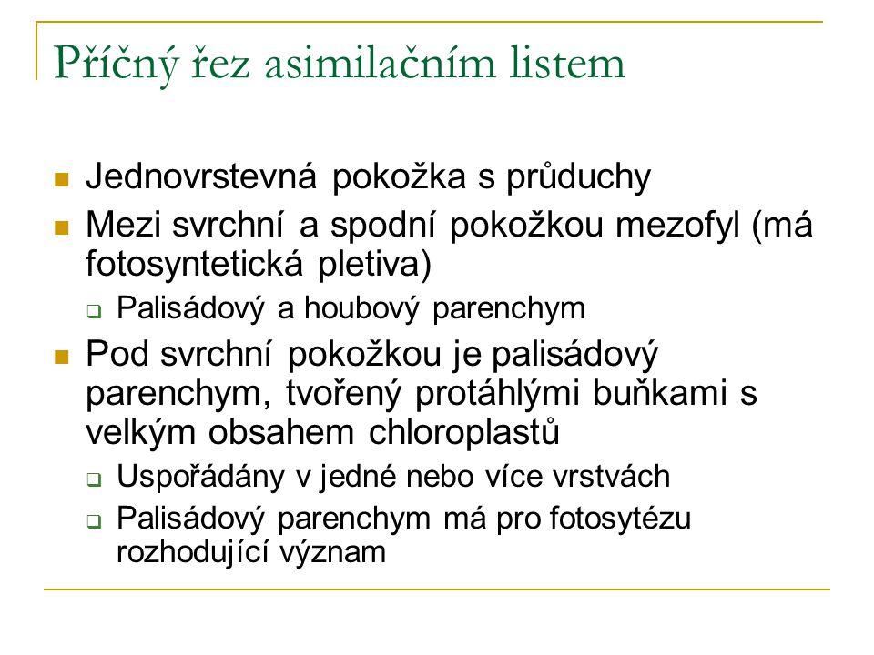 Příčný řez asimilačním listem Jednovrstevná pokožka s průduchy Mezi svrchní a spodní pokožkou mezofyl (má fotosyntetická pletiva)  Palisádový a houbo