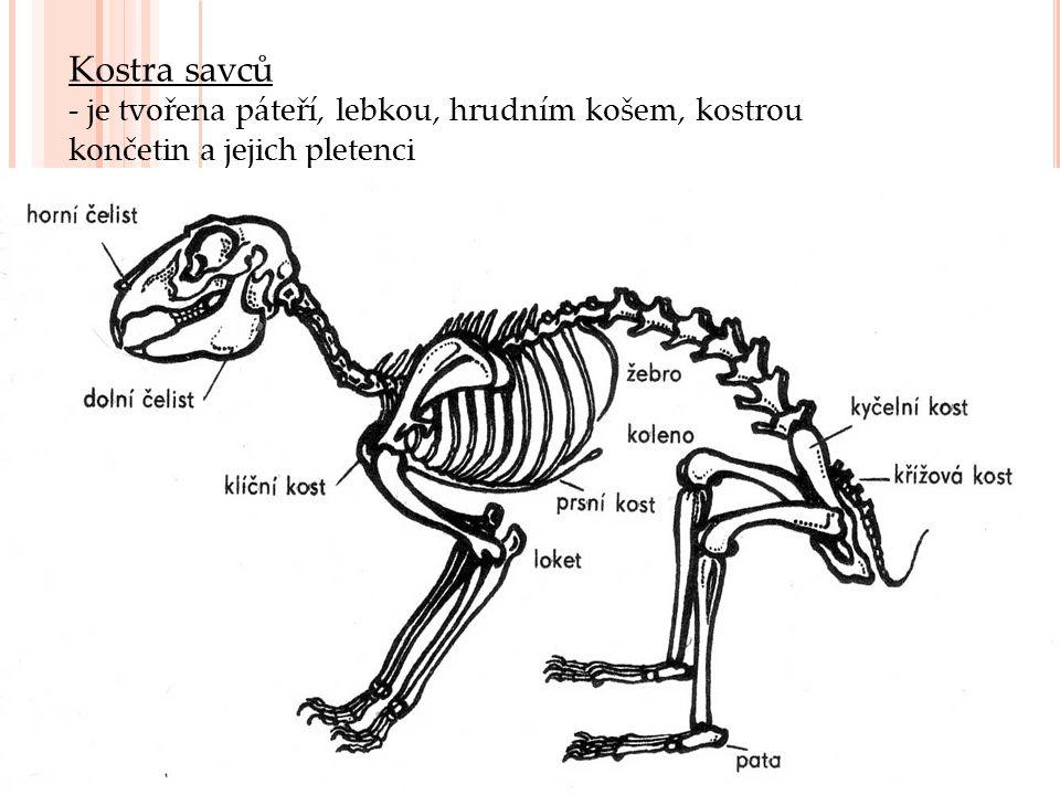 Páteř - je osou celé kostry - má 5 morfologicky i funkčně odlišných částí - krční – 7 krčních obratlů - 1.