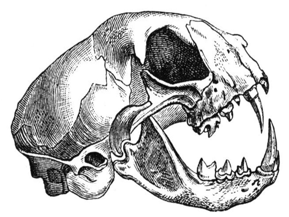 Svalová soustava - mimořádně členitá, přímo naléhá na kostru - charakteristický plochý sval = bránice, odděluje dutinu břišní a hrudní, podílí se na dýchání a odstraňování stolice - mezižeberní svalstvo – dýchací pohyby hrudníku - podkožní ploché svaly – uvádí do pohybu okrsky kůže (kůň, ježek) - žvýkací svaly – mechanické zpracování potravy - obličejové mimické svalstvo – šelmy a primáti