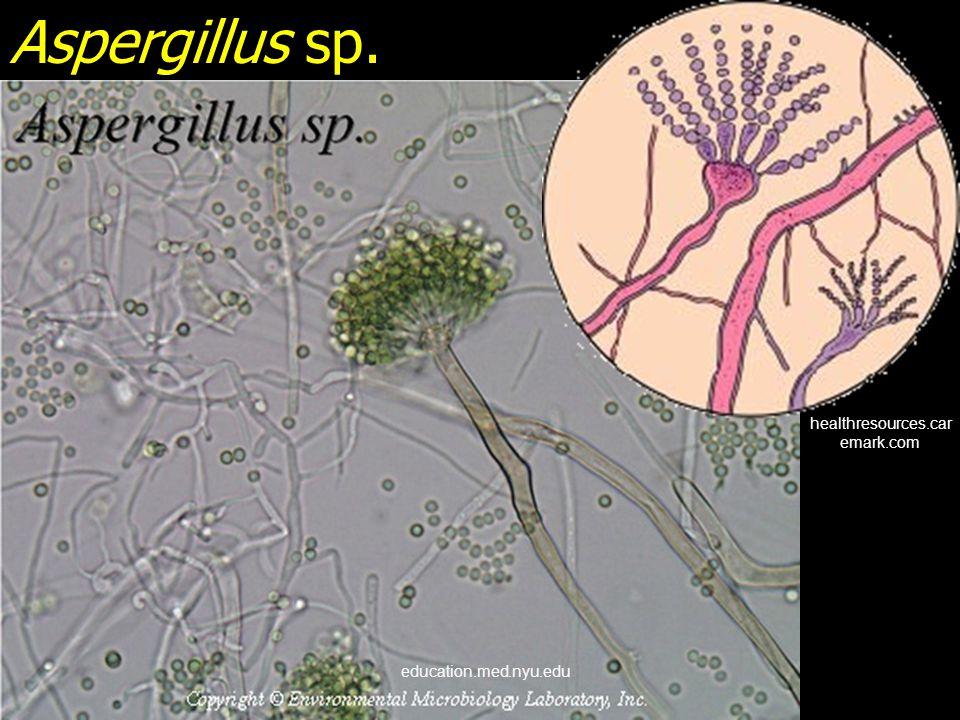 Aspergillus sp. 129.215.156.68 www.mycolog.com