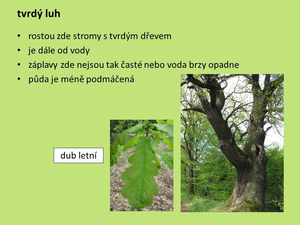 tvrdý luh rostou zde stromy s tvrdým dřevem je dále od vody záplavy zde nejsou tak časté nebo voda brzy opadne půda je méně podmáčená dub letní