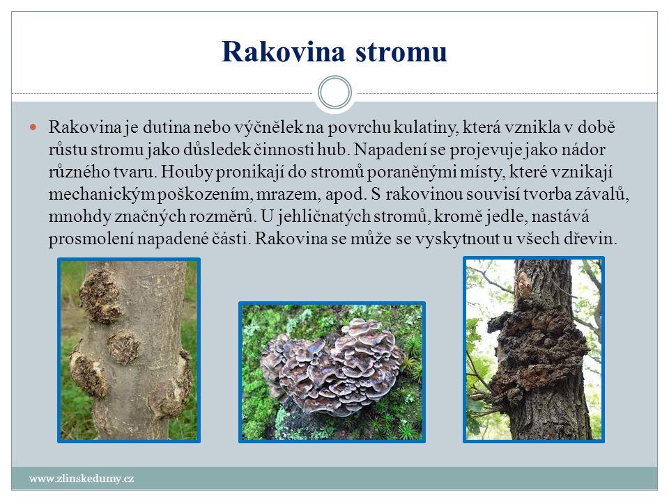 Rakovina stromu www.zlinskedumy.cz Rakovina je dutina nebo výčnělek na povrchu kulatiny, která vznikla v době růstu stromu jako důsledek činnosti hub.