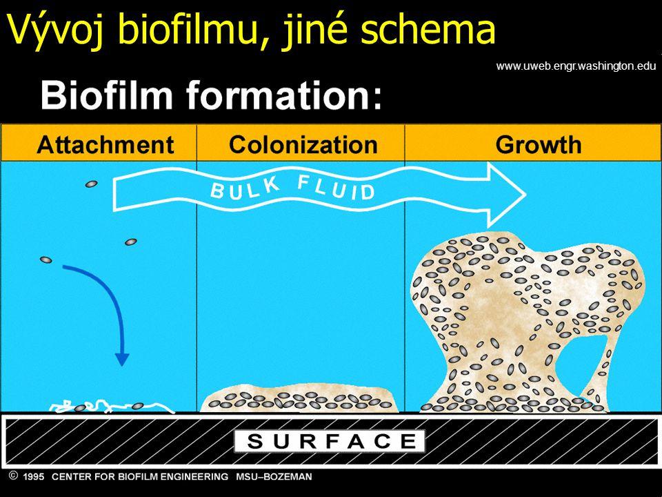 Vývoj biofilmu, jiné schema www.uweb.engr.washington.edu