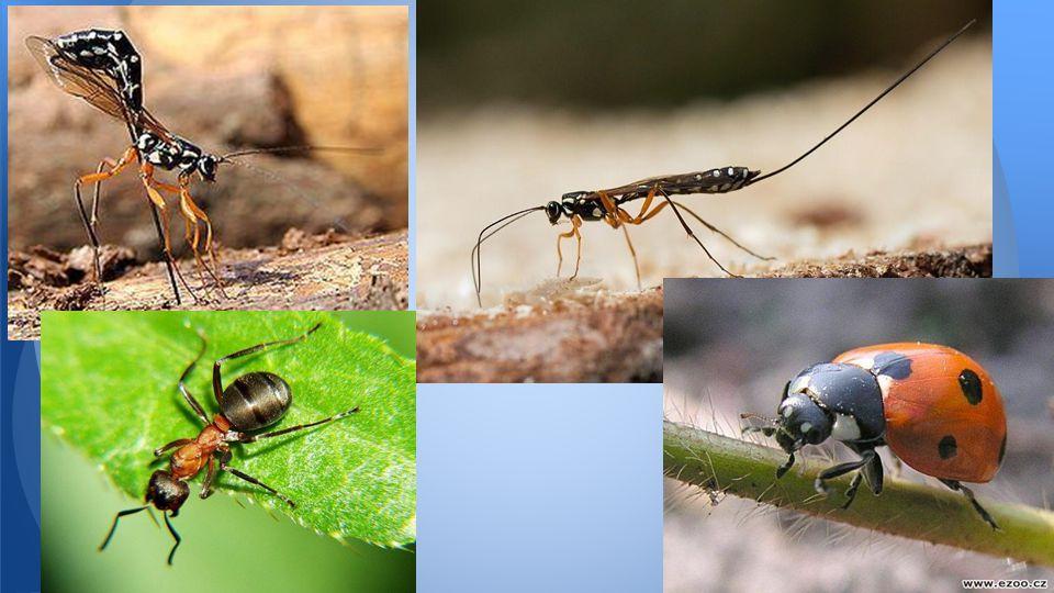 Správné řešení Lumek velký mravenec Lumek velký Slunéčko sedmitečné