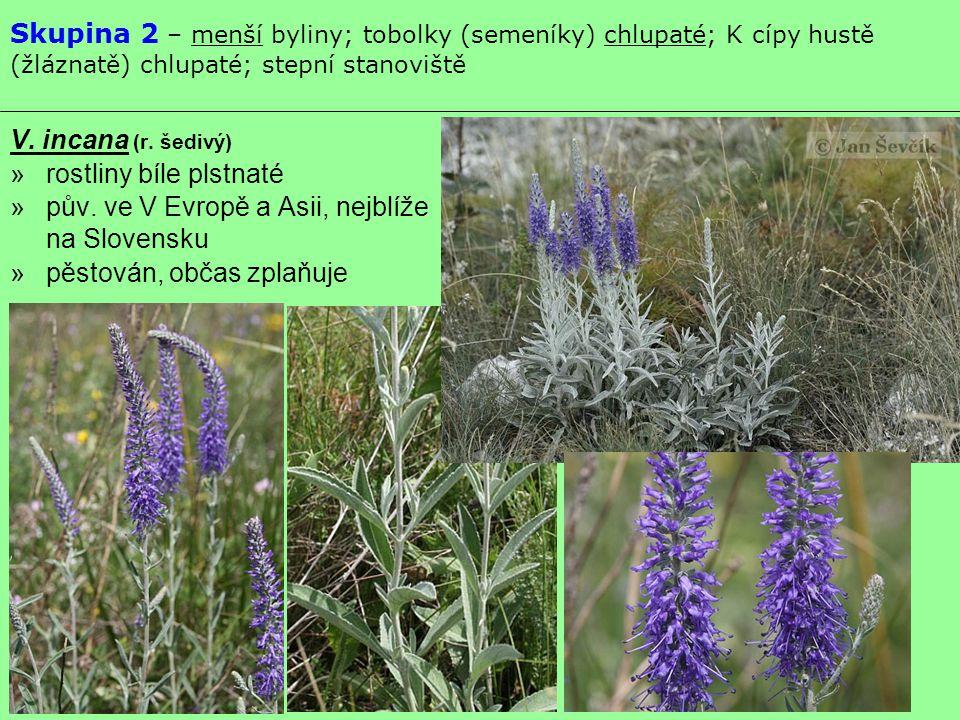 Skupina 2 – menší byliny; tobolky (semeníky) chlupaté; K cípy hustě (žláznatě) chlupaté; stepní stanoviště V. incana (r. šedivý) »rostliny bíle plstna