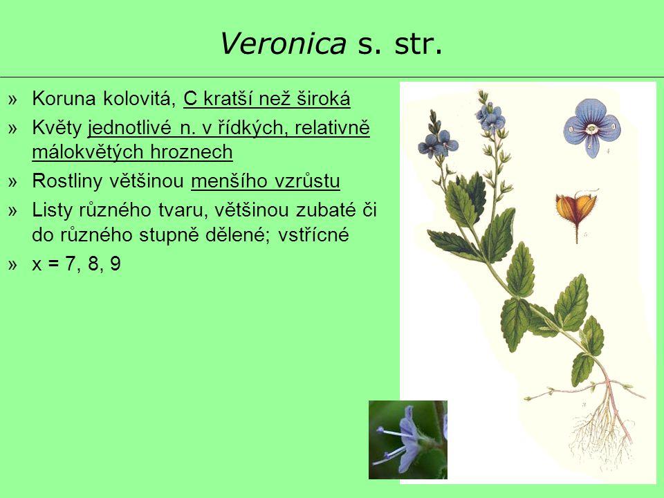 Veronica s. str. »Koruna kolovitá, C kratší než široká »Květy jednotlivé n. v řídkých, relativně málokvětých hroznech »Rostliny většinou menšího vzrůs
