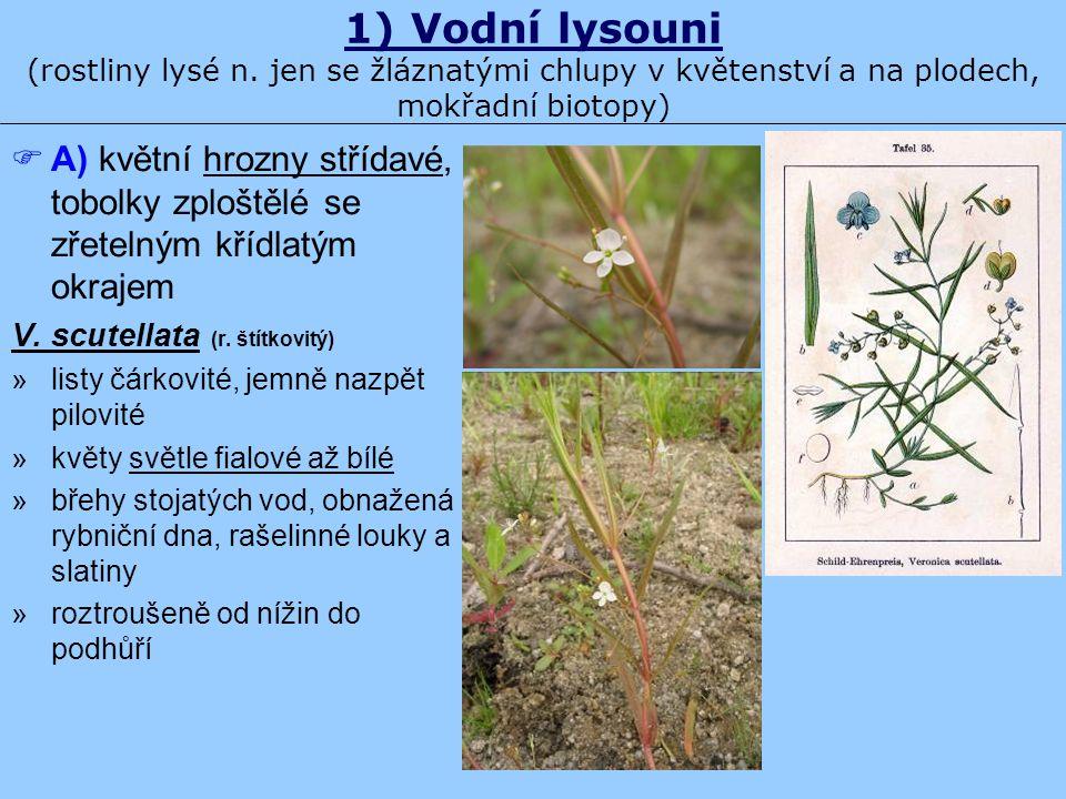 1) Vodní lysouni (rostliny lysé n. jen se žláznatými chlupy v květenství a na plodech, mokřadní biotopy)  A) květní hrozny střídavé, tobolky zploštěl