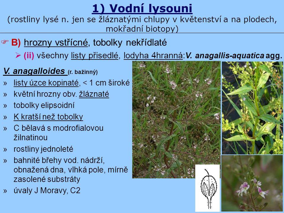 1) Vodní lysouni (rostliny lysé n. jen se žláznatými chlupy v květenství a na plodech, mokřadní biotopy) V. anagalloides (r. bažinný) »listy úzce kopi