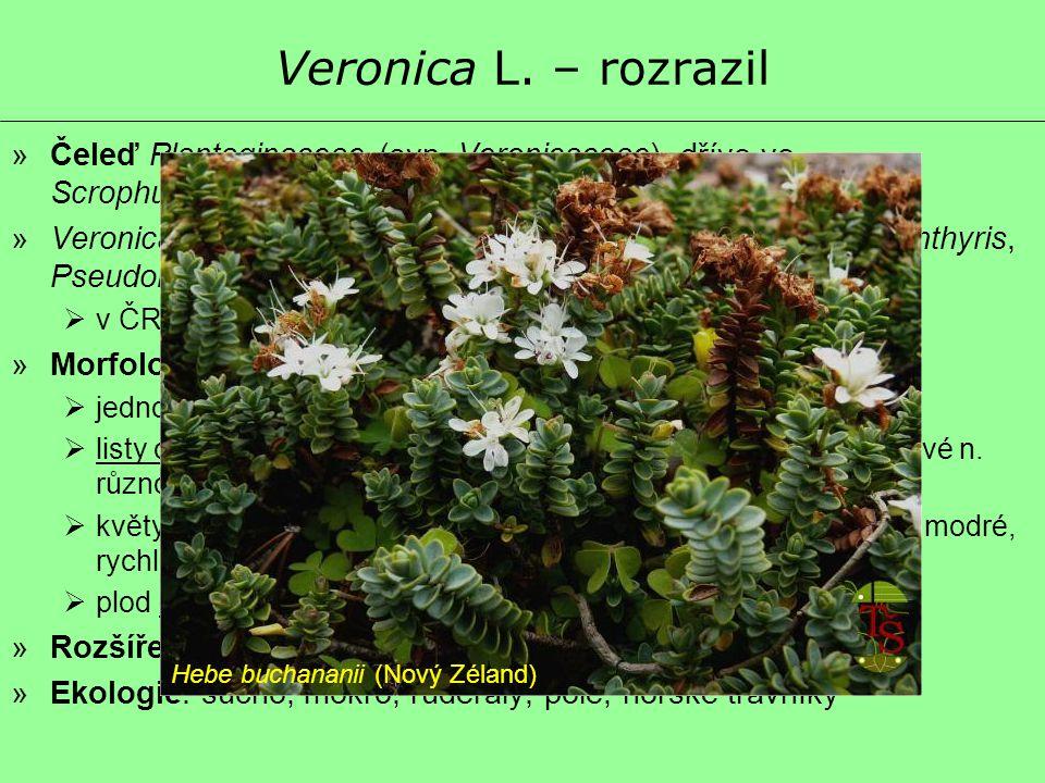 Veronica L. – rozrazil »Čeleď Plantaginaceae (syn. Veronicaceae), dříve ve Scrophulariaceae »Veronica s. lat. – ca 450 druhů (vč. rodů Hebe, Parahebe,