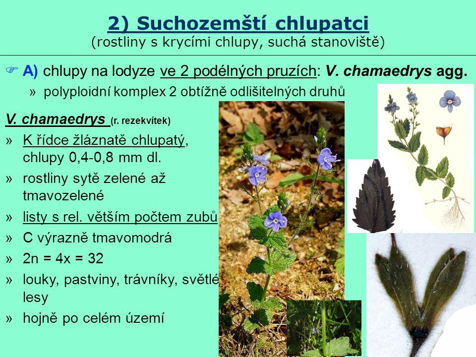 2) Suchozemští chlupatci (rostliny s krycími chlupy, suchá stanoviště)  A) chlupy na lodyze ve 2 podélných pruzích: V. chamaedrys agg. »polyploidní k