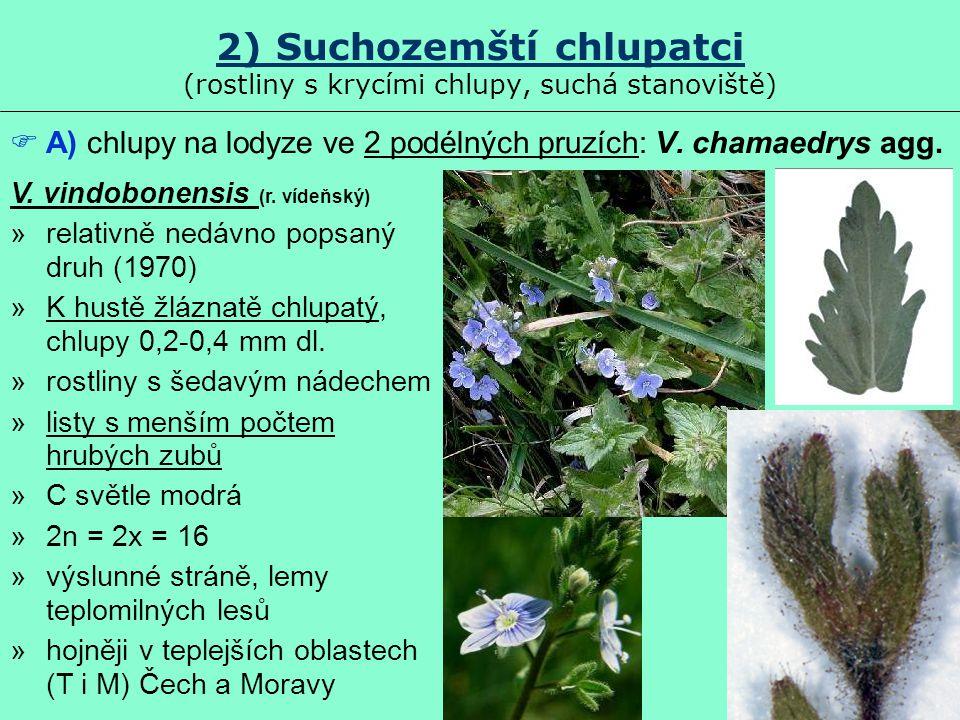 2) Suchozemští chlupatci (rostliny s krycími chlupy, suchá stanoviště)  A) chlupy na lodyze ve 2 podélných pruzích: V. chamaedrys agg. V. vindobonens
