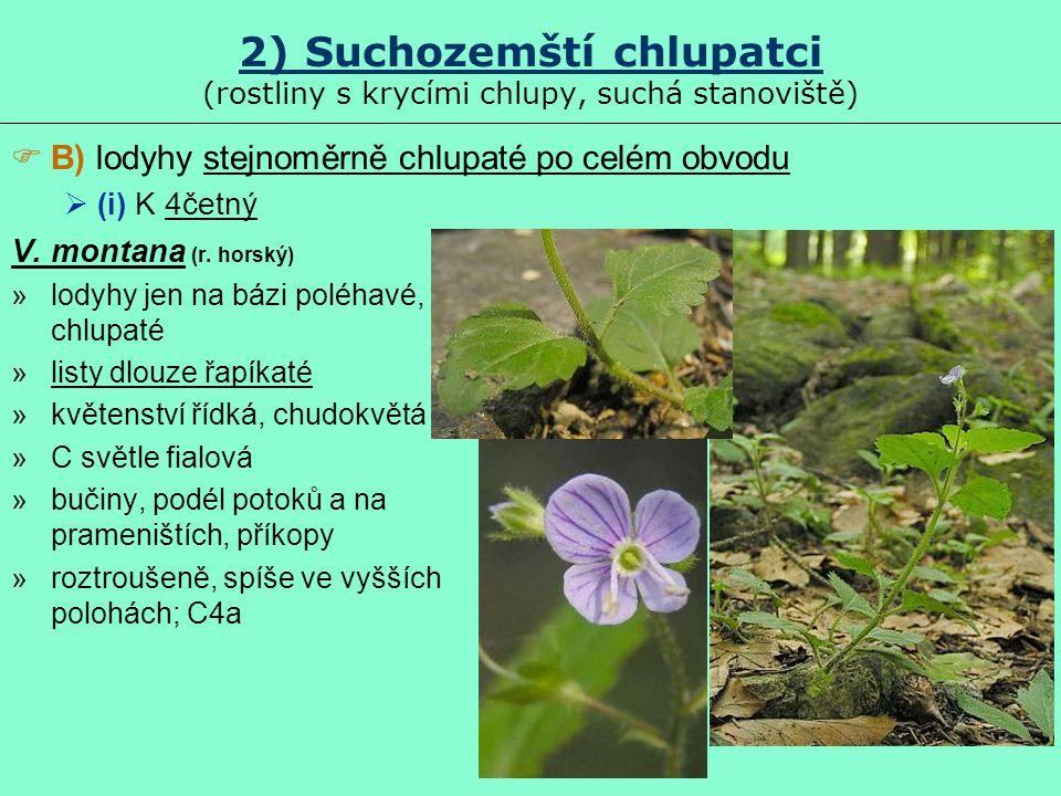 2) Suchozemští chlupatci (rostliny s krycími chlupy, suchá stanoviště) V. montana (r. horský) »lodyhy jen na bázi poléhavé, chlupaté »listy dlouze řap