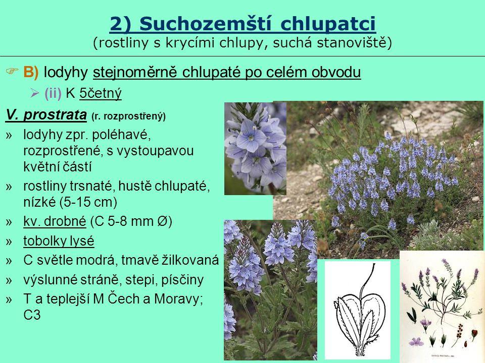 2) Suchozemští chlupatci (rostliny s krycími chlupy, suchá stanoviště) V. prostrata (r. rozprostřený) »lodyhy zpr. poléhavé, rozprostřené, s vystoupav