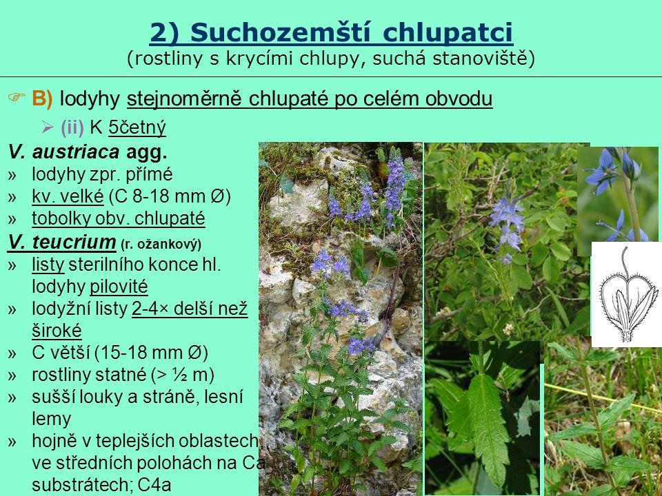 2) Suchozemští chlupatci (rostliny s krycími chlupy, suchá stanoviště)  B) lodyhy stejnoměrně chlupaté po celém obvodu  (ii) K 5četný V. austriaca a