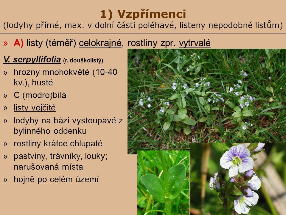 1) Vzpřímenci (lodyhy přímé, max. v dolní části poléhavé, listeny nepodobné listům) »A) listy (téměř) celokrajné, rostliny zpr. vytrvalé V. serpyllifo