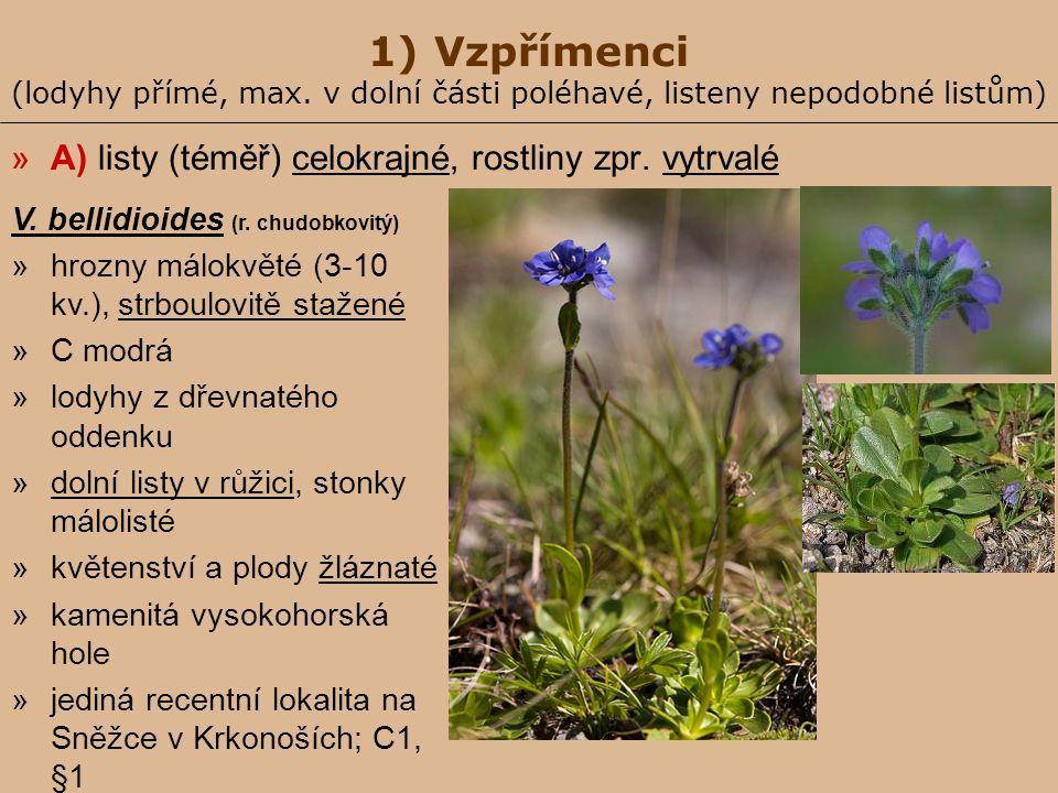1) Vzpřímenci (lodyhy přímé, max. v dolní části poléhavé, listeny nepodobné listům) »A) listy (téměř) celokrajné, rostliny zpr. vytrvalé V. bellidioid