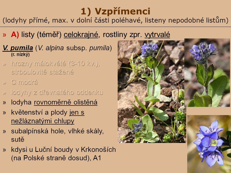 1) Vzpřímenci (lodyhy přímé, max. v dolní části poléhavé, listeny nepodobné listům) »A) listy (téměř) celokrajné, rostliny zpr. vytrvalé