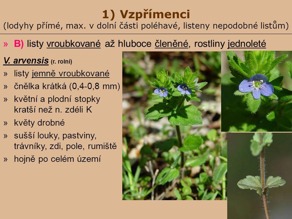 1) Vzpřímenci (lodyhy přímé, max. v dolní části poléhavé, listeny nepodobné listům) »B) listy vroubkované až hluboce členěné, rostliny jednoleté V. ar