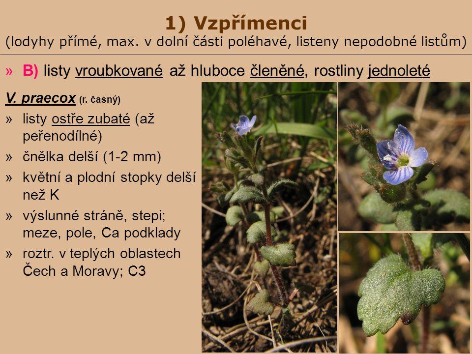 1) Vzpřímenci (lodyhy přímé, max. v dolní části poléhavé, listeny nepodobné listům) »B) listy vroubkované až hluboce členěné, rostliny jednoleté V. pr