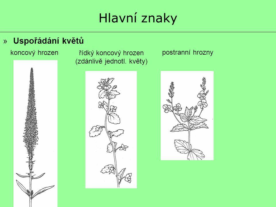 Hlavní znaky »Uspořádání květů koncový hrozen postranní hrozny řídký koncový hrozen (zdánlivě jednotl. květy)