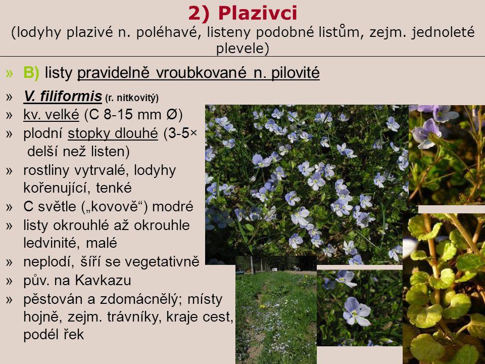 2) Plazivci (lodyhy plazivé n. poléhavé, listeny podobné listům, zejm. jednoleté plevele) »B) listy pravidelně vroubkované n. pilovité »V. filiformis