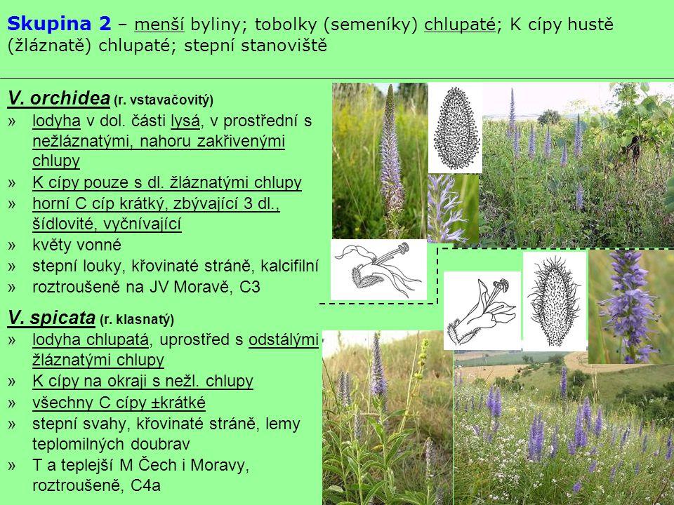 Skupina 2 – menší byliny; tobolky (semeníky) chlupaté; K cípy hustě (žláznatě) chlupaté; stepní stanoviště V. orchidea (r. vstavačovitý) »lodyha v dol