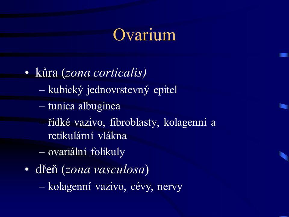 Ovarium kůra (zona corticalis) –kubický jednovrstevný epitel –tunica albuginea –řídké vazivo, fibroblasty, kolagenní a retikulární vlákna –ovariální f