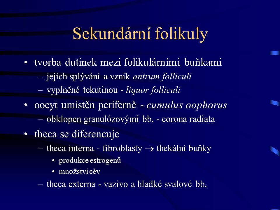 Sekundární folikuly tvorba dutinek mezi folikulárními buňkami –jejich splývání a vznik antrum folliculi –vyplněné tekutinou - liquor folliculi oocyt u