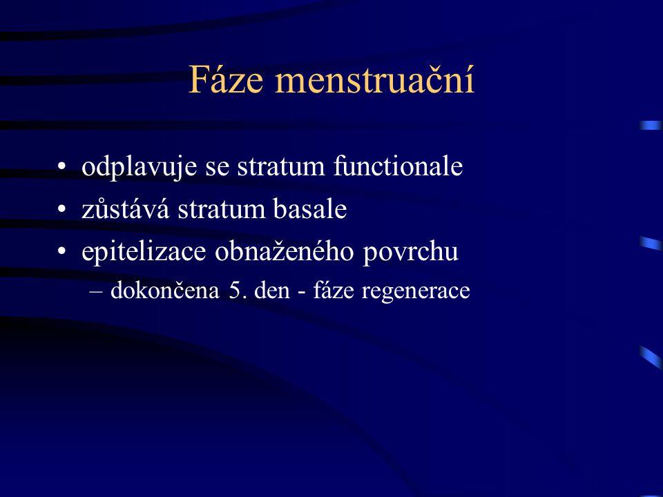 Fáze menstruační odplavuje se stratum functionale zůstává stratum basale epitelizace obnaženého povrchu –dokončena 5. den - fáze regenerace