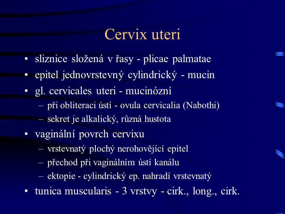 Cervix uteri sliznice složená v řasy - plicae palmatae epitel jednovrstevný cylindrický - mucin gl. cervicales uteri - mucinózní –při obliteraci ústí