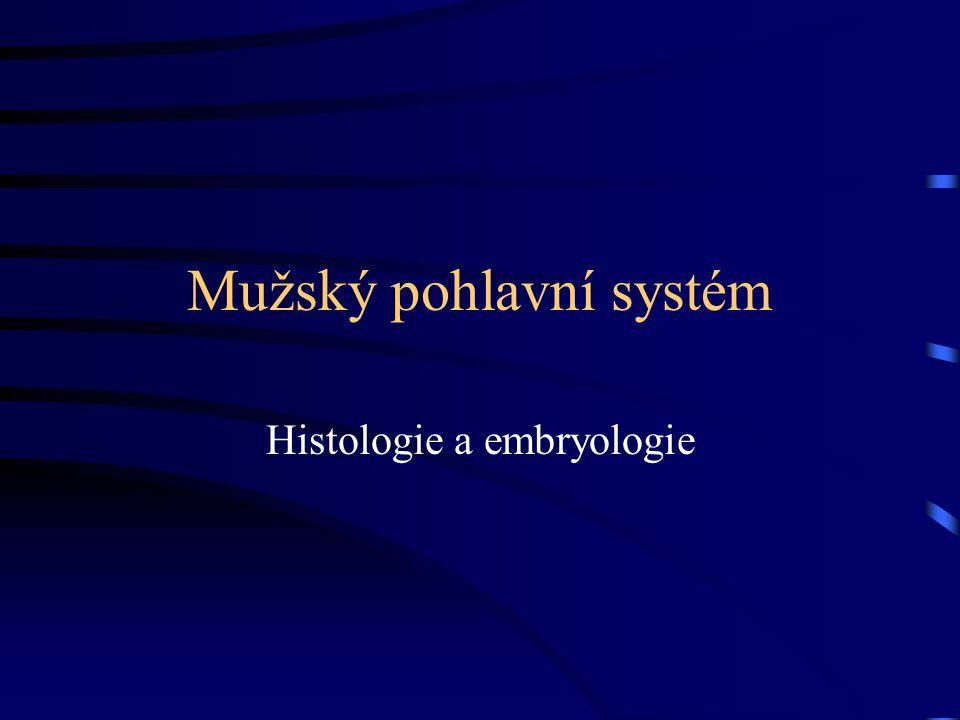 Mužský pohlavní systém Histologie a embryologie