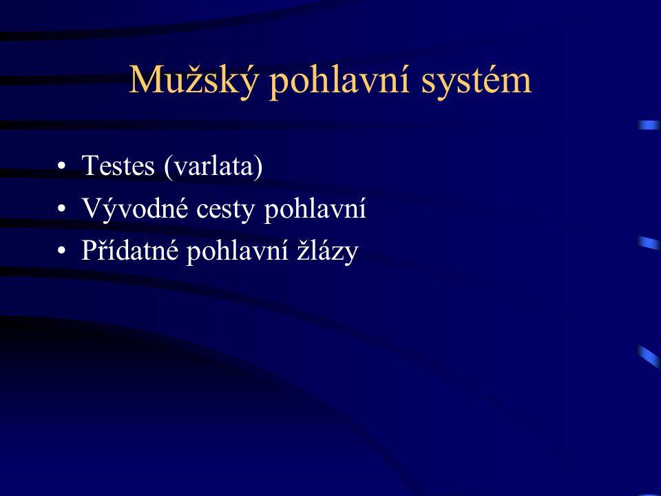 Mužský pohlavní systém Testes (varlata) Vývodné cesty pohlavní Přídatné pohlavní žlázy
