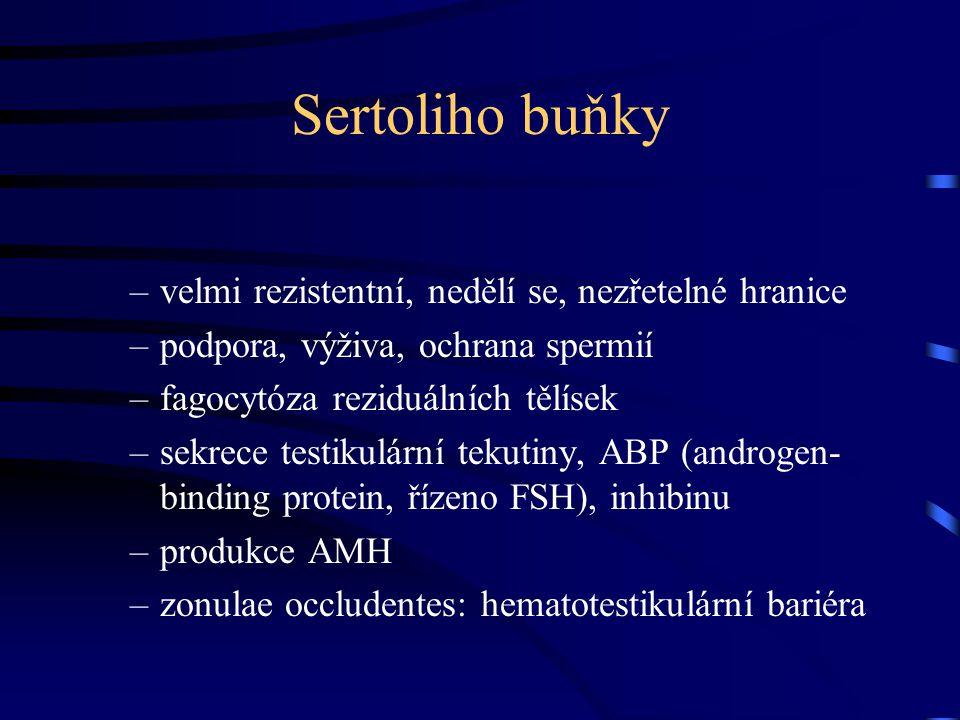 Sertoliho buňky –velmi rezistentní, nedělí se, nezřetelné hranice –podpora, výživa, ochrana spermií –fagocytóza reziduálních tělísek –sekrece testikul