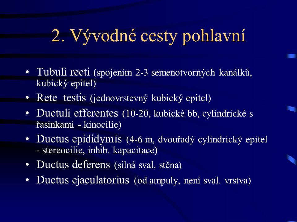 2. Vývodné cesty pohlavní Tubuli recti (spojením 2-3 semenotvorných kanálků, kubický epitel) Rete testis (jednovrstevný kubický epitel) Ductuli effere