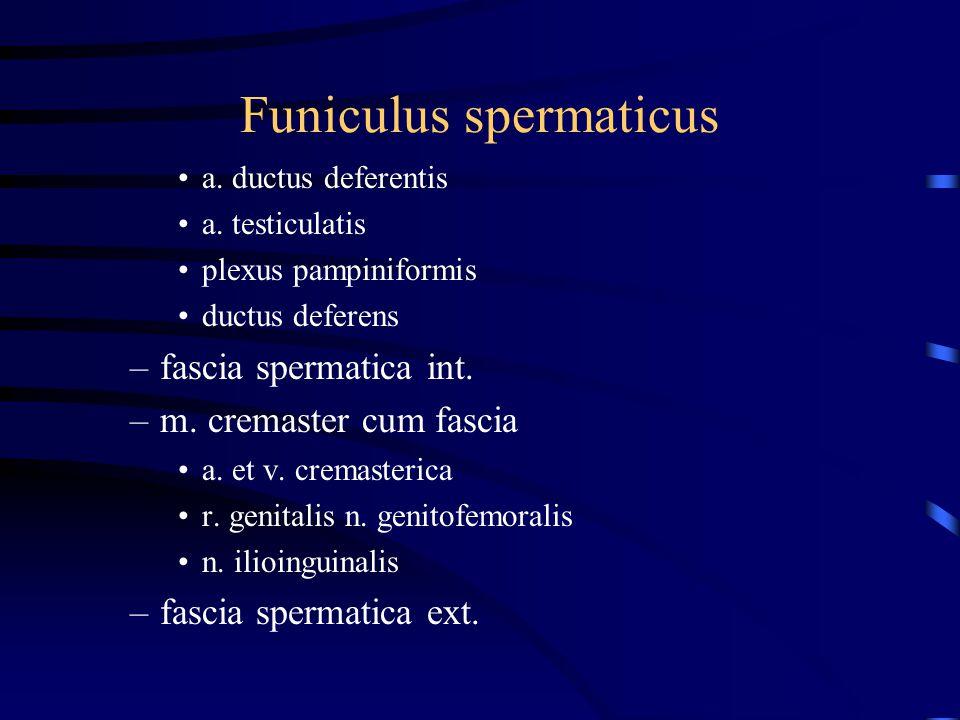Funiculus spermaticus a. ductus deferentis a. testiculatis plexus pampiniformis ductus deferens –fascia spermatica int. –m. cremaster cum fascia a. et