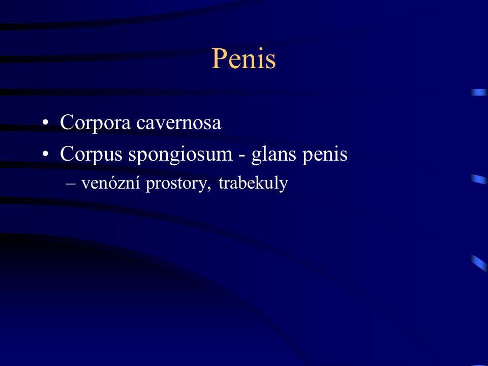 Penis Corpora cavernosa Corpus spongiosum - glans penis –venózní prostory, trabekuly