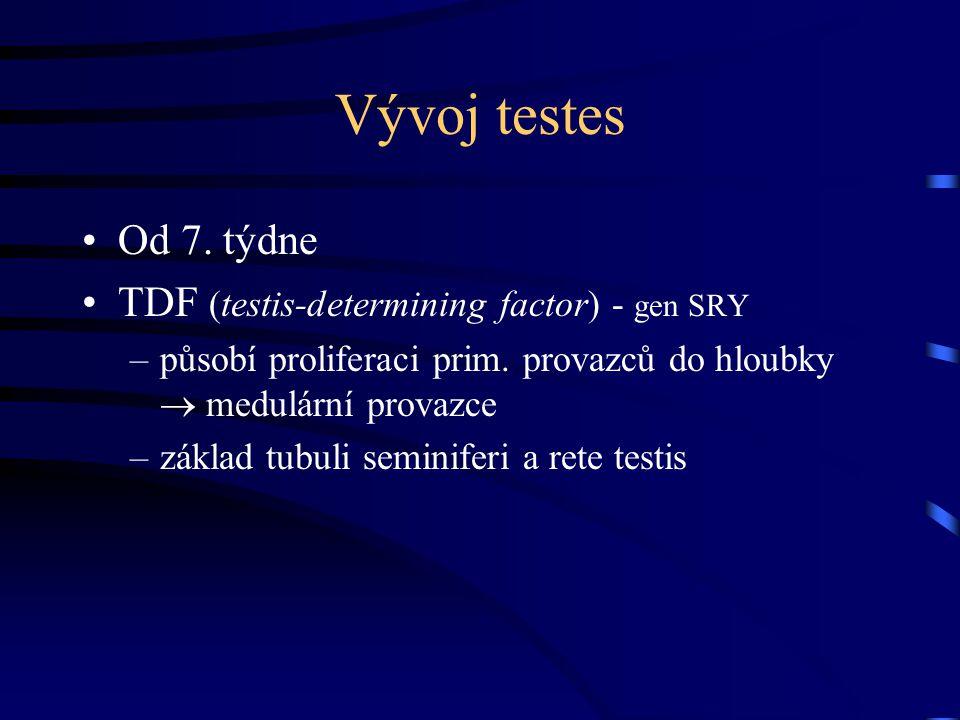 Vývoj testes Od 7. týdne TDF (testis-determining factor) - gen SRY –působí proliferaci prim. provazců do hloubky  medulární provazce –základ tubuli s