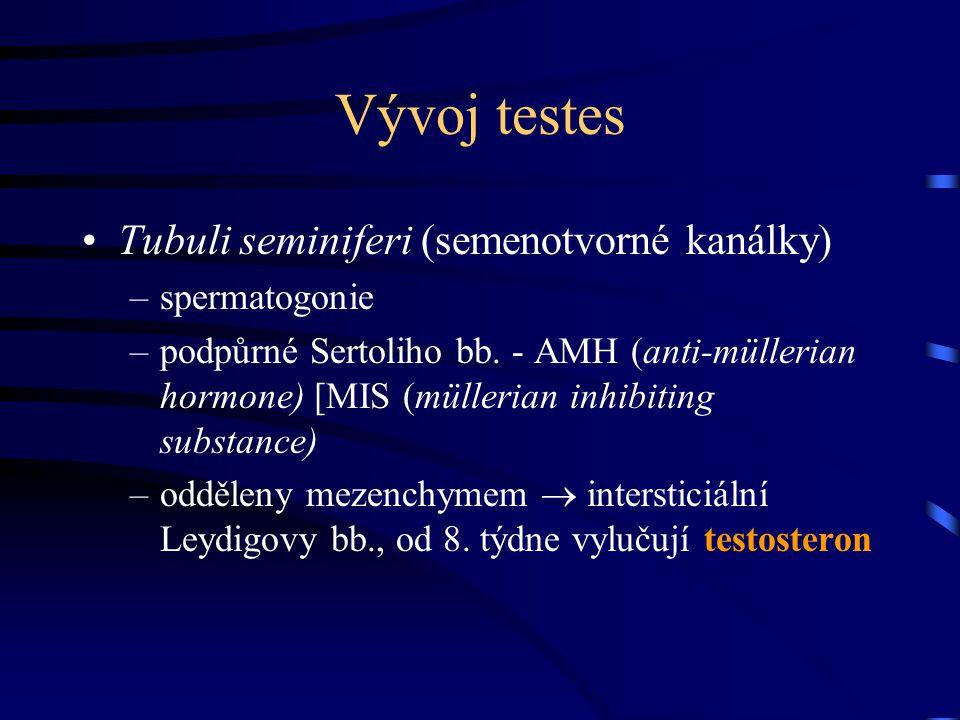 Vývoj testes Tubuli seminiferi (semenotvorné kanálky) –spermatogonie –podpůrné Sertoliho bb. - AMH (anti-müllerian hormone) [MIS (müllerian inhibiting