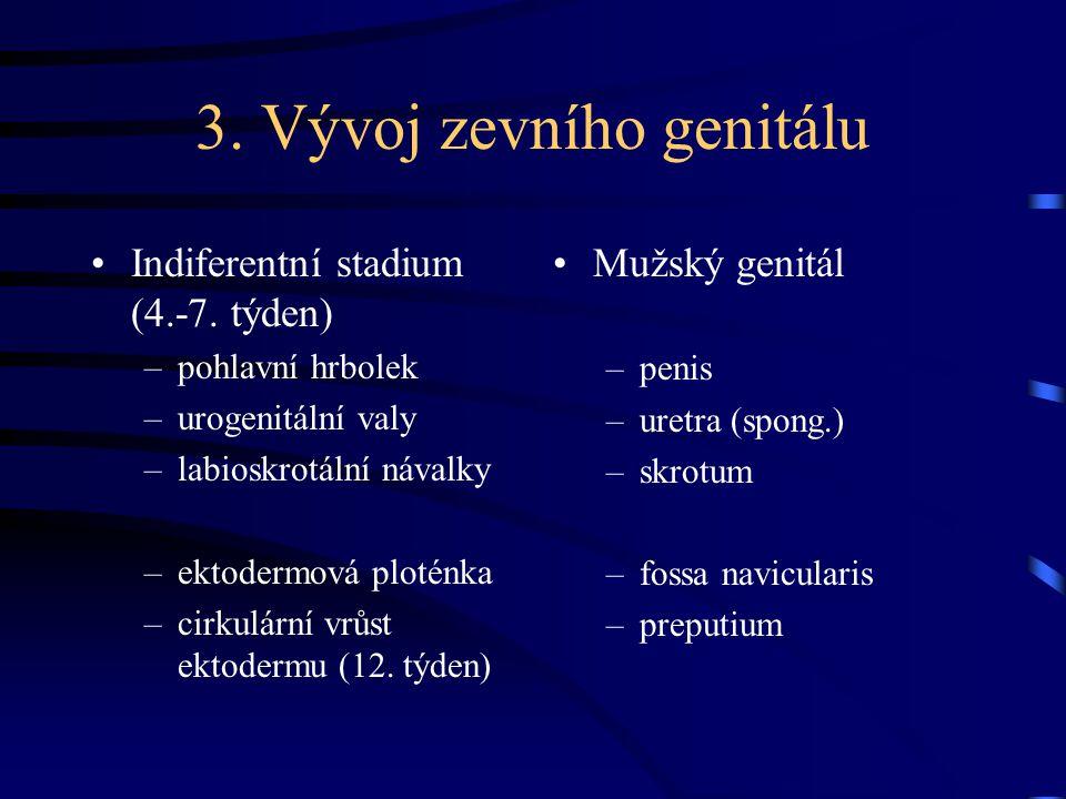 3. Vývoj zevního genitálu Indiferentní stadium (4.-7. týden) –pohlavní hrbolek –urogenitální valy –labioskrotální návalky –ektodermová ploténka –cirku