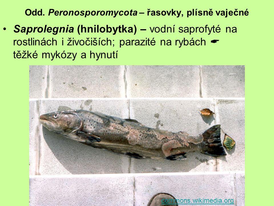 Odd. Peronosporomycota – řasovky, plísně vaječné Saprolegnia (hnilobytka) – vodní saprofyté na rostlinách i živočiších; parazité na rybách  těžké myk