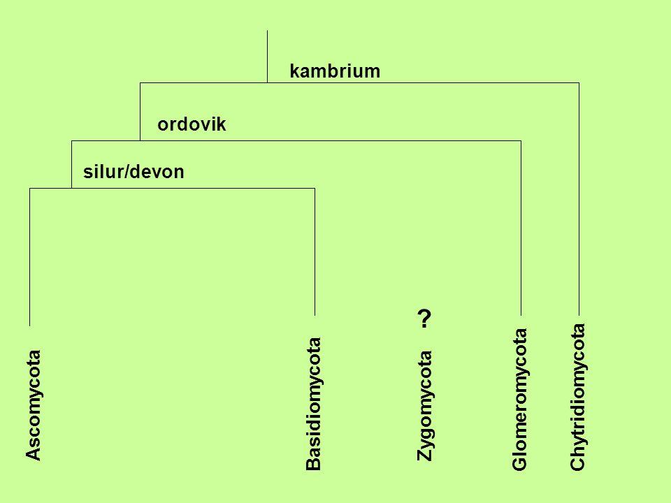 ChytridiomycotaGlomeromycota Zygomycota Basidiomycota Ascomycota kambrium ordovik silur/devon ?