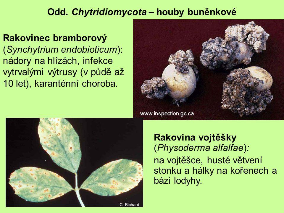 Rakovinec bramborový (Synchytrium endobioticum): nádory na hlízách, infekce vytrvalými výtrusy (v půdě až 10 let), karanténní choroba.