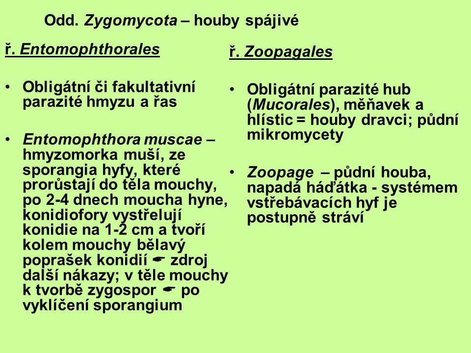 ř. Entomophthorales Obligátní či fakultativní parazité hmyzu a řas Entomophthora muscae – hmyzomorka muší, ze sporangia hyfy, které prorůstají do těla