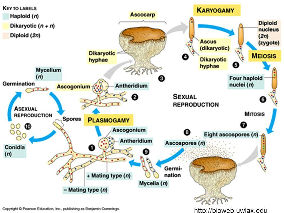 - Nejpočetnější skupina hub - Mycelium přehrádkované s jedním haploidním jádrem v každé buňce Rozmnožování: - Nejčastěji nepohlavně (konidie).
